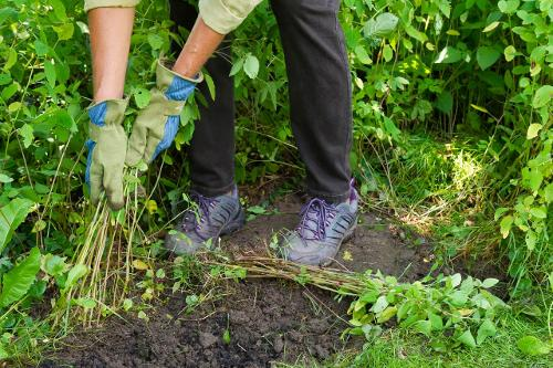 person with gloves on pulling weeds from the soil in a veg bed