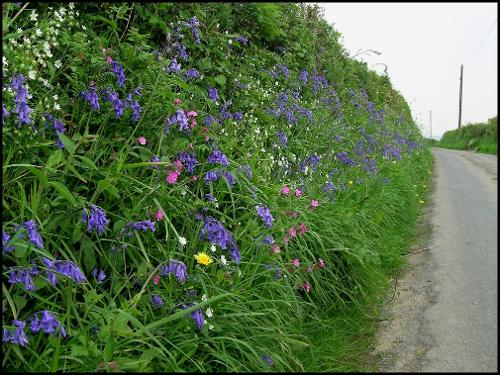 wild pink and purples flowers on the bank on the side of a country lane